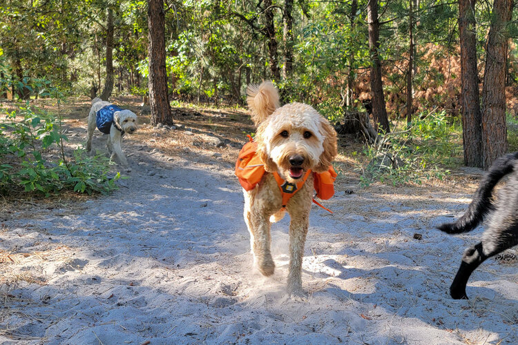 If your dog is big enough to carry a backpack, like the  Ruffwear Approach Pack , make sure the pack weight is no more than 25% of their body weight
